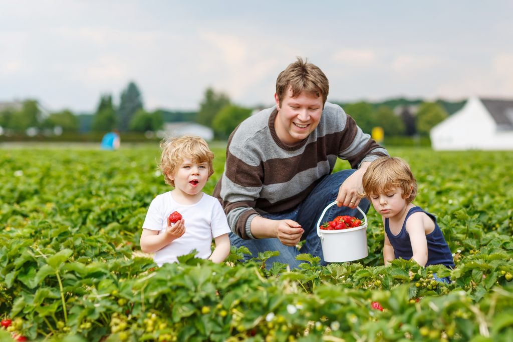 Two little funny kid boys and their father on organic strawberry farm in summer picking and eating fresh ripe berries. Happy family spending time together.